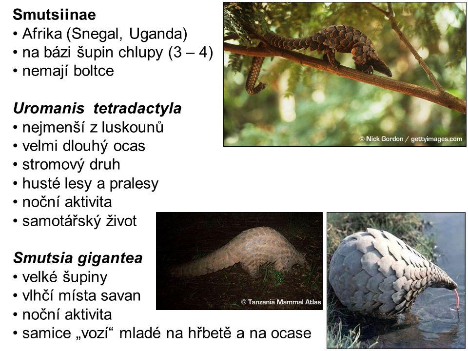 Smutsiinae Afrika (Snegal, Uganda) na bázi šupin chlupy (3 – 4) nemají boltce Uromanis tetradactyla nejmenší z luskounů velmi dlouhý ocas stromový dru