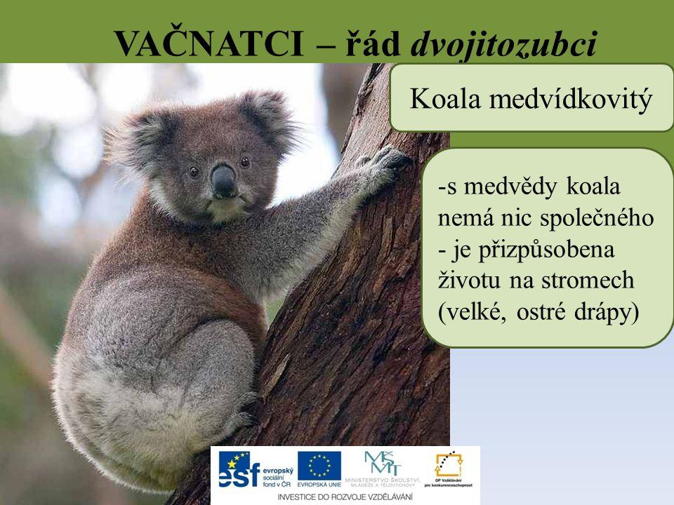 VAČNATCI – řád dvojitozubci Koala medvídkovitý -s medvědy koala nemá nic společného - je přizpůsobena životu na stromech (velké, ostré drápy)