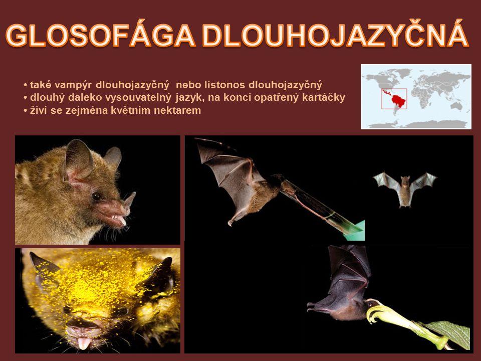 také vampýr dlouhojazyčný nebo listonos dlouhojazyčný dlouhý daleko vysouvatelný jazyk, na konci opatřený kartáčky živí se zejména květním nektarem