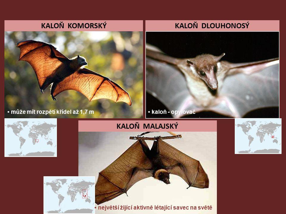 KALOŇ KOMORSKÝKALOŇ DLOUHONOSÝ KALOŇ MALAJSKÝ může mít rozpětí křídel až 1,7 m kaloň - opylovač největší žijící aktivně létající savec na světě