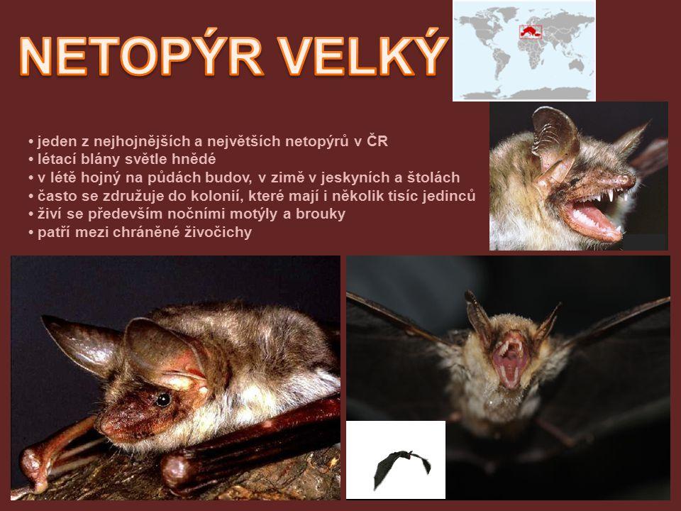 jeden z nejhojnějších a největších netopýrů v ČR létací blány světle hnědé v létě hojný na půdách budov, v zimě v jeskyních a štolách často se združuj