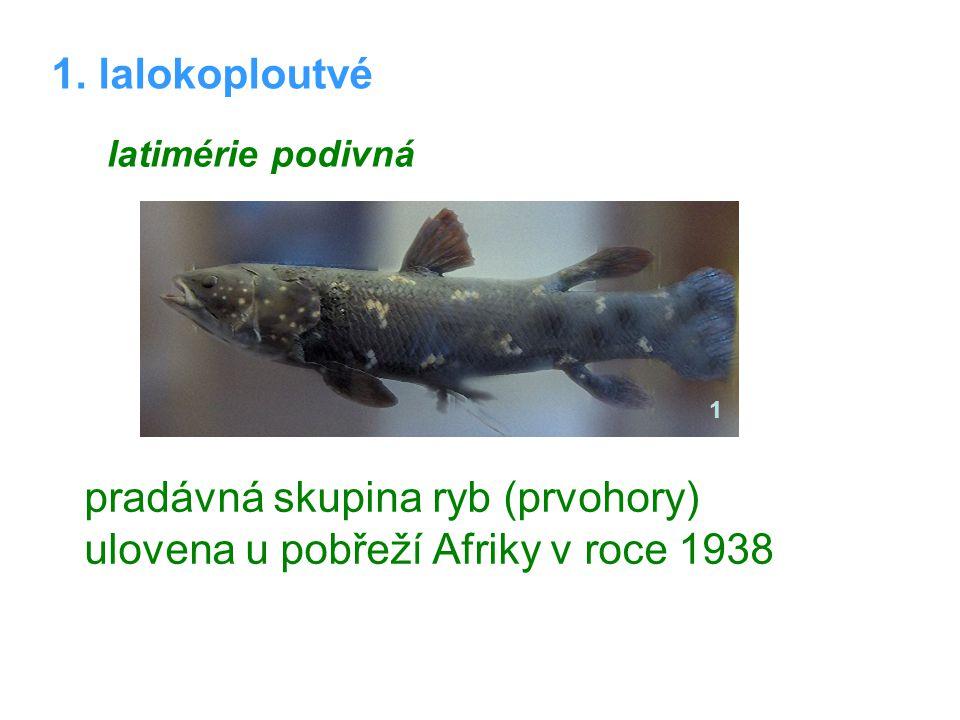 1. lalokoploutvé latimérie podivná pradávná skupina ryb (prvohory) ulovena u pobřeží Afriky v roce 1938 1