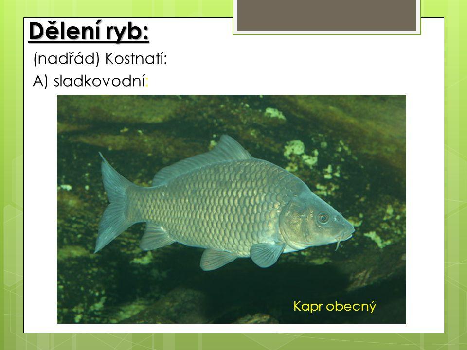 Dělení ryb: (nadřád) Kostnatí: A) sladkovodní: Kapr obecný