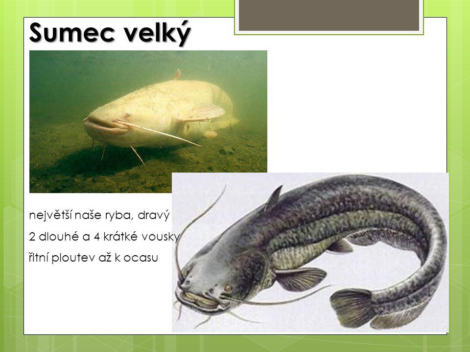 Sumec velký největší naše ryba, dravý 2 dlouhé a 4 krátké vousky řitní ploutev až k ocasu
