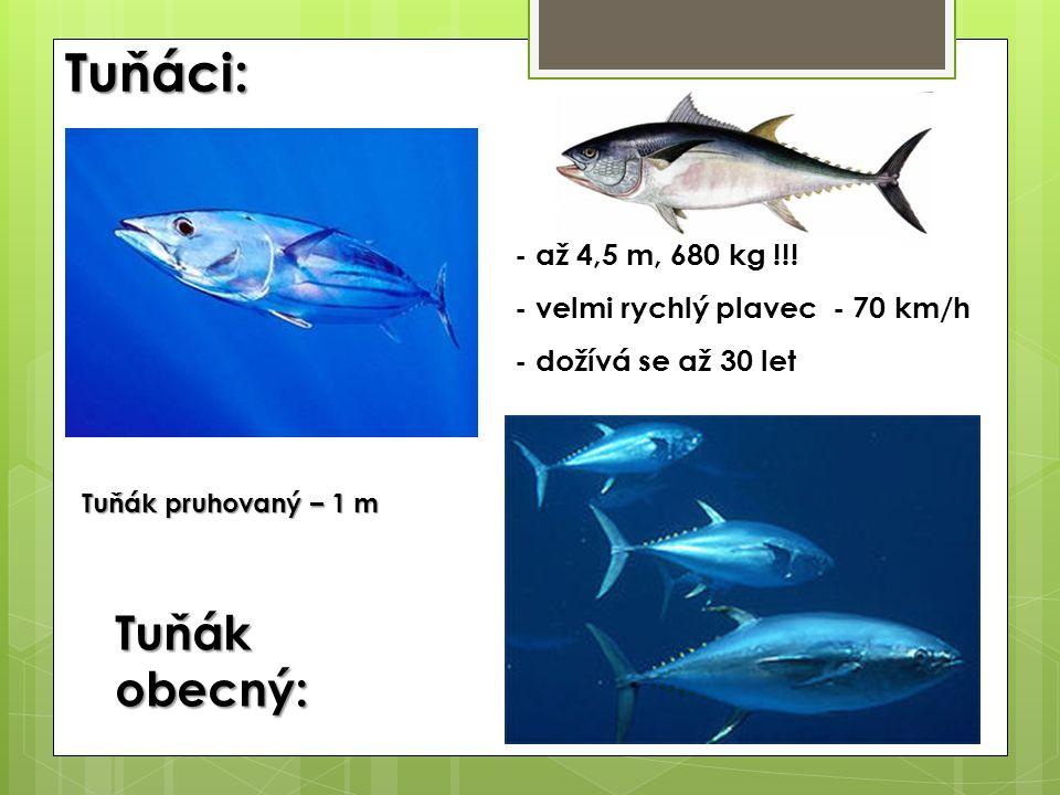 Tuňáci: - až 4,5 m, 680 kg !!! - velmi rychlý plavec - 70 km/h - dožívá se až 30 let Tuňák obecný: Tuňák pruhovaný – 1 m