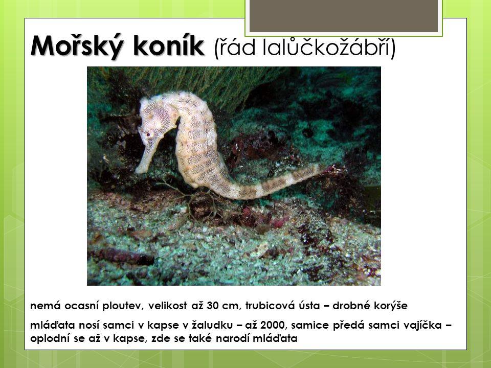 Mořský koník Mořský koník (řád lalůčkožábří) nemá ocasní ploutev, velikost až 30 cm, trubicová ústa – drobné korýše mláďata nosí samci v kapse v žalud