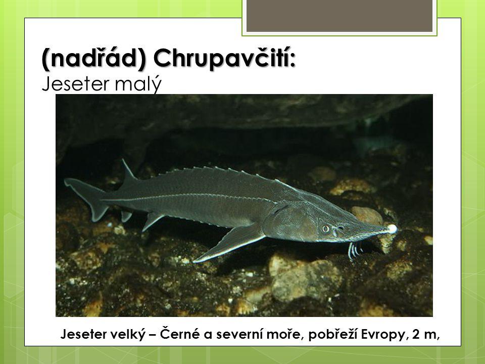 (nadřád) Chrupavčití: (nadřád) Chrupavčití: Jeseter malý Jeseter velký – Černé a severní moře, pobřeží Evropy, 2 m,