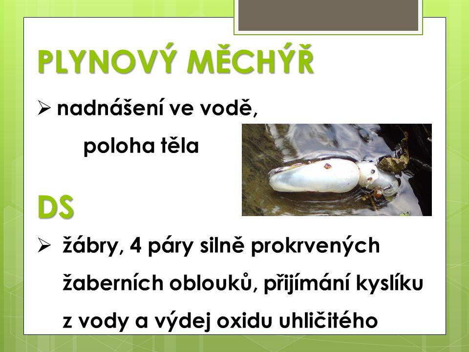 PLYNOVÝ MĚCHÝŘ  nadnášení ve vodě, poloha tělaDS  žábry, 4 páry silně prokrvených žaberních oblouků, přijímání kyslíku z vody a výdej oxidu uhličité