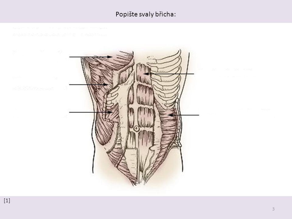 3 Popište svaly břicha: [1]