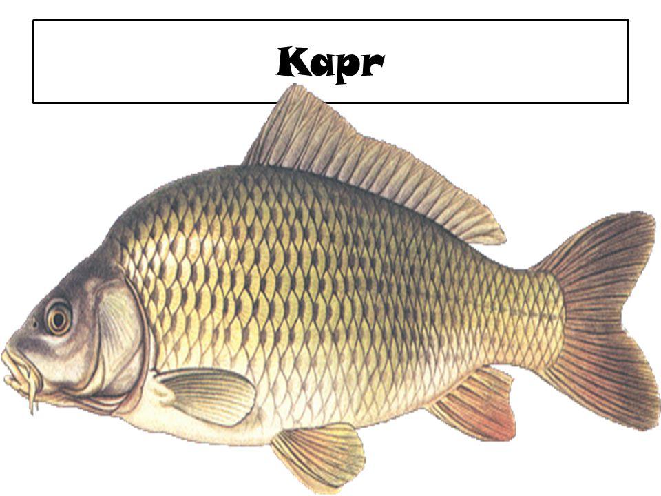 Jak ryba dýchá o Primárním dýchacím orgánem ryb jsou čty ř i páry žaber umíst ě né na kost ě ných žaberních obloucích v žaberní dutin ě.žaberkost ě ných o Žábry jsou tvo ř eny bohat ě prokrvenými žaberními lístky s velmi jemnou kapilární sítí.