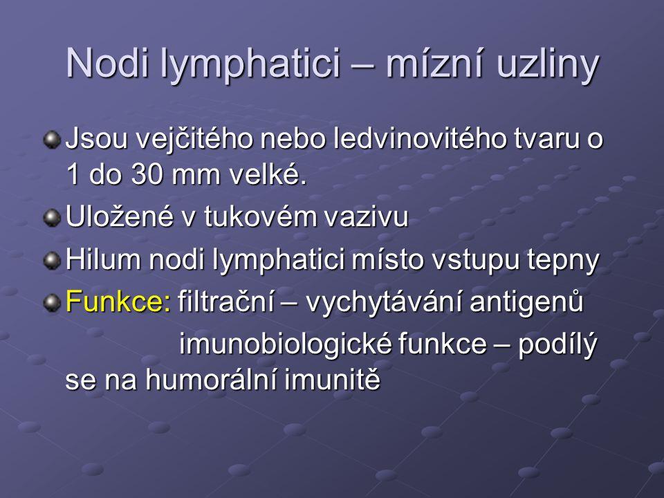 Nodi lymphatici – mízní uzliny Jsou vejčitého nebo ledvinovitého tvaru o 1 do 30 mm velké. Uložené v tukovém vazivu Hilum nodi lymphatici místo vstupu