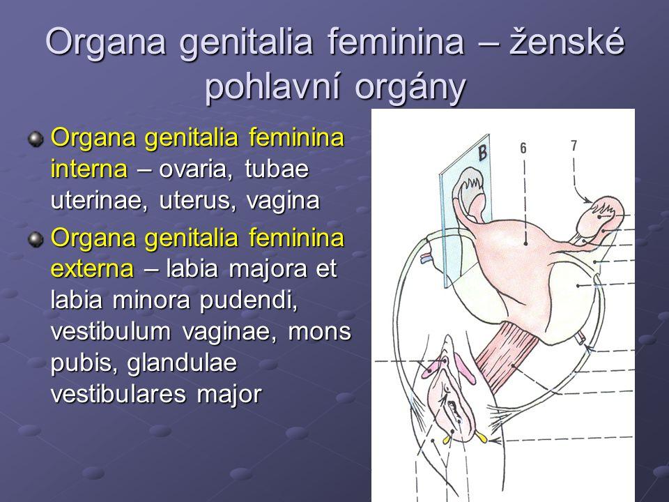 Organa genitalia feminina – ženské pohlavní orgány Organa genitalia feminina interna – ovaria, tubae uterinae, uterus, vagina Organa genitalia feminin