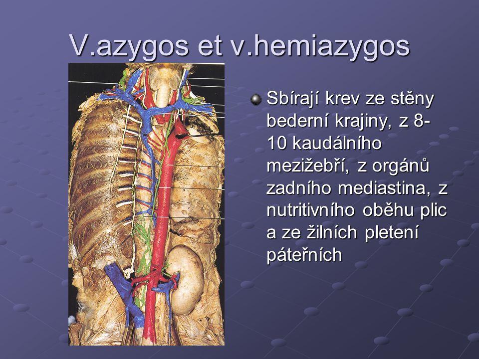 V.azygos et v.hemiazygos Sbírají krev ze stěny bederní krajiny, z 8- 10 kaudálního mezižebří, z orgánů zadního mediastina, z nutritivního oběhu plic a