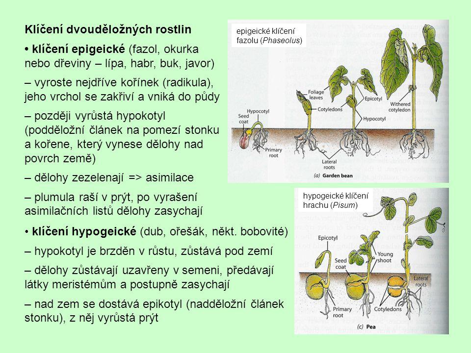 Klíčení dvouděložných rostlin klíčení epigeické (fazol, okurka nebo dřeviny – lípa, habr, buk, javor) – vyroste nejdříve kořínek (radikula), jeho vrch