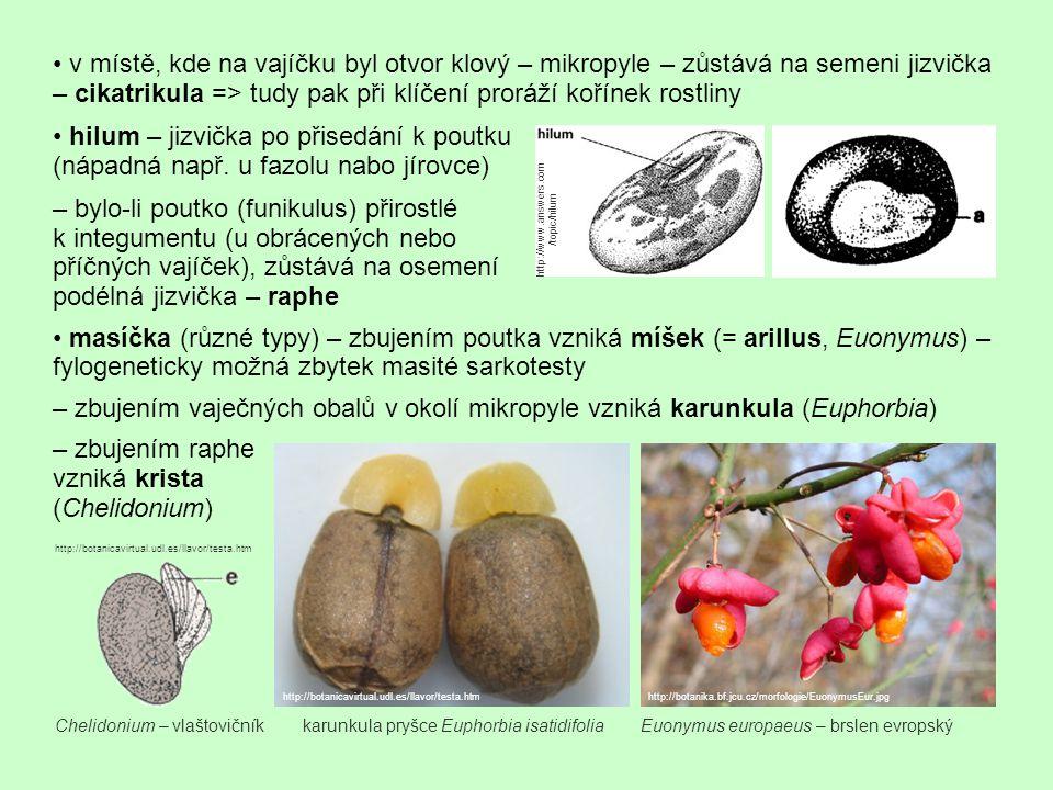 – zbujením raphe vzniká krista (Chelidonium) v místě, kde na vajíčku byl otvor klový – mikropyle – zůstává na semeni jizvička – cikatrikula => tudy pa