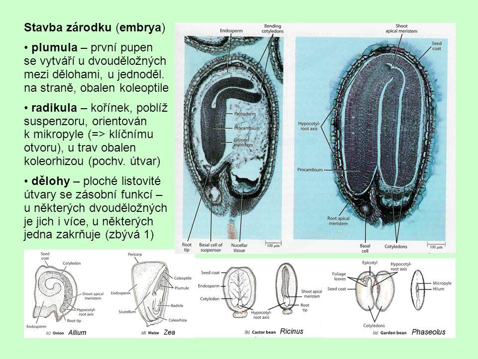 """postavení zárodku v semeni je různé u různých rostlin (viz obrázky na předchozí straně) u parazitů a """"saprofytů (tento výraz je v tomto případě používán pro mykotrofní symbionty) jsou embrya zakrnělá u některých rostlin (Fabaceae, Asteraceae, patří k vývojově odvozeným skup.) je zakrnělý perisperm i endosperm, zásobní úloha je plně na dělohách úlohu děloh u trav má štítek, u některých je na protější straně epiblast (rudiment druhé dělohy); štítek je absorpční orgán, přiléhá k endospermu (viz obr."""