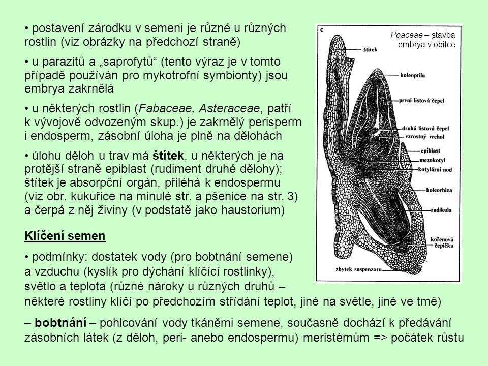 """postavení zárodku v semeni je různé u různých rostlin (viz obrázky na předchozí straně) u parazitů a """"saprofytů"""" (tento výraz je v tomto případě použí"""