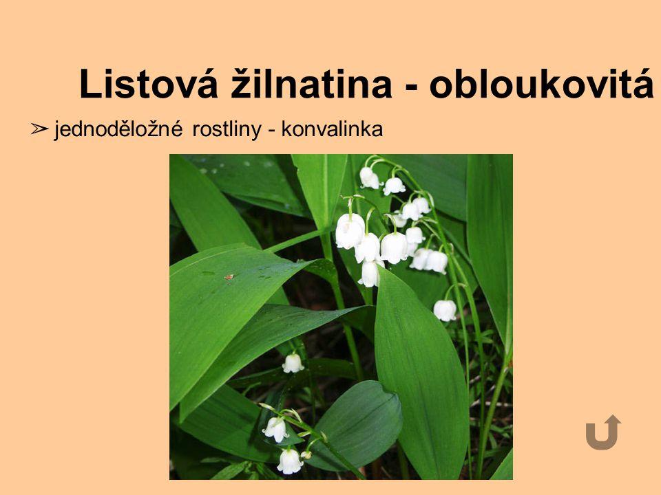 Listová žilnatina - rovnoběžná ➢ Jednoděložné rostliny - obilí