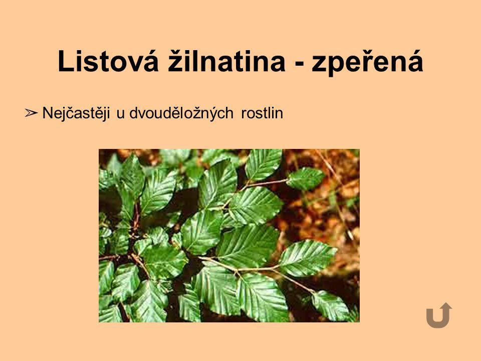 Listová žilnatina - obloukovitá ➢ jednoděložné rostliny - konvalinka