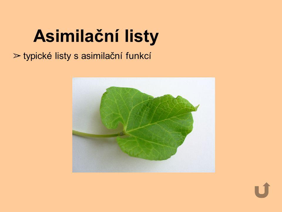 Asimilační listy ➢ typické listy s asimilační funkcí