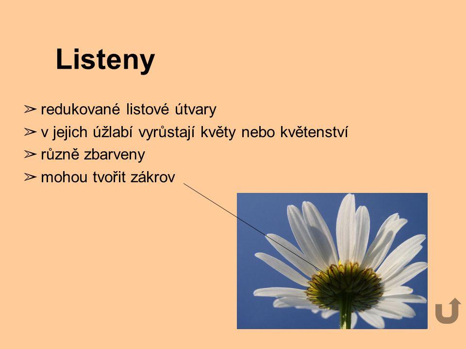Listeny ➢ redukované listové útvary ➢ v jejich úžlabí vyrůstají květy nebo květenství ➢ různě zbarveny ➢ mohou tvořit zákrov