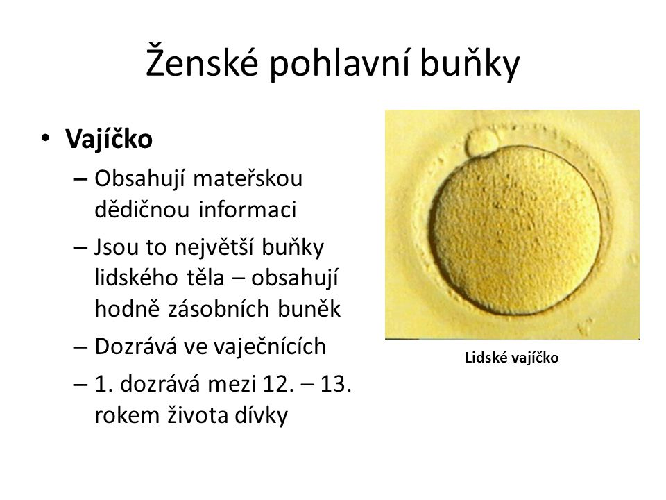 Ženské pohlavní buňky Vajíčko – Obsahují mateřskou dědičnou informaci – Jsou to největší buňky lidského těla – obsahují hodně zásobních buněk – Dozráv