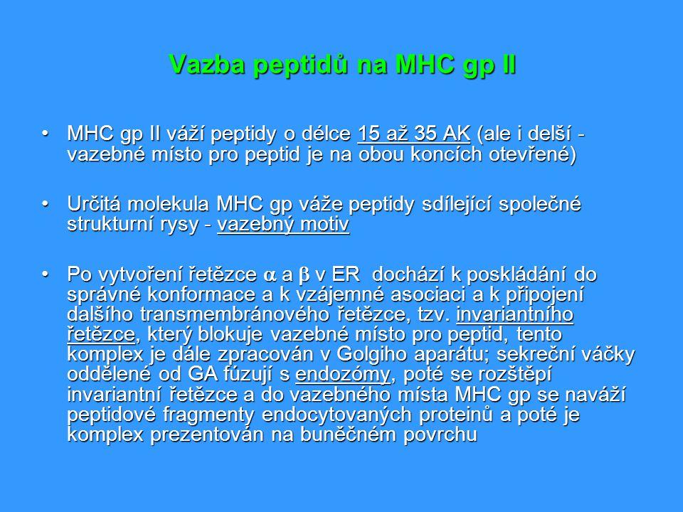 Vazba peptidů na MHC gp II MHC gp II váží peptidy o délce 15 až 35 AK (ale i delší - vazebné místo pro peptid je na obou koncích otevřené)MHC gp II vá