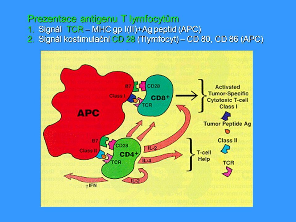 Prezentace antigenu T lymfocytům 1.Signál TCR – MHC gp I(II)+Ag peptid (APC) 2.Signál kostimulační CD 28 (Tlymfocyt) – CD 80, CD 86 (APC)