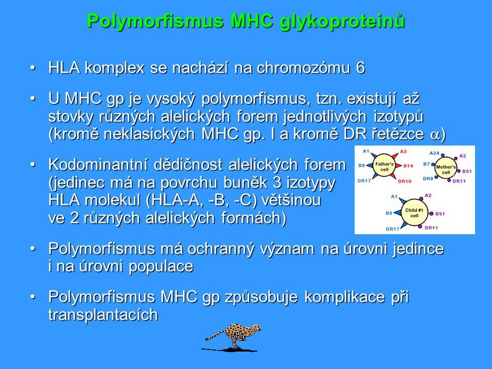 Polymorfismus MHC glykoproteinů HLA komplex se nachází na chromozómu 6HLA komplex se nachází na chromozómu 6 U MHC gp je vysoký polymorfismus, tzn. ex