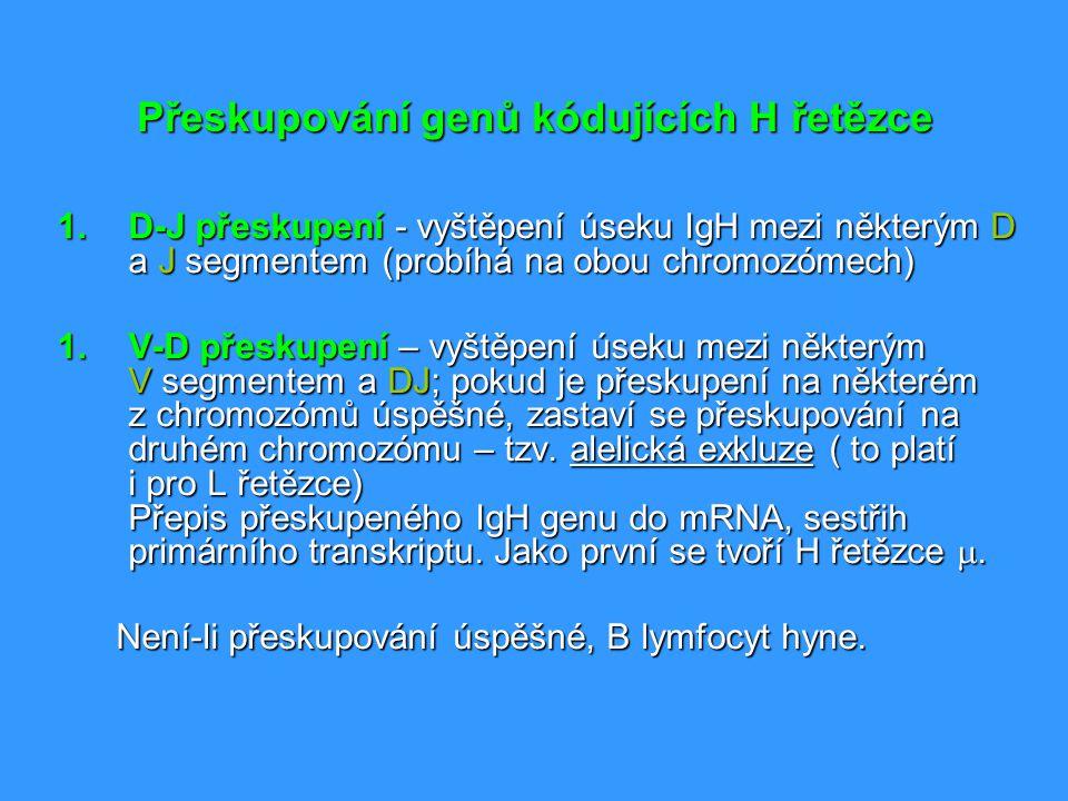 Přeskupování genů kódujících H řetězce 1.D-J přeskupení - vyštěpení úseku IgH mezi některým D a J segmentem (probíhá na obou chromozómech) 1.V-D přesk