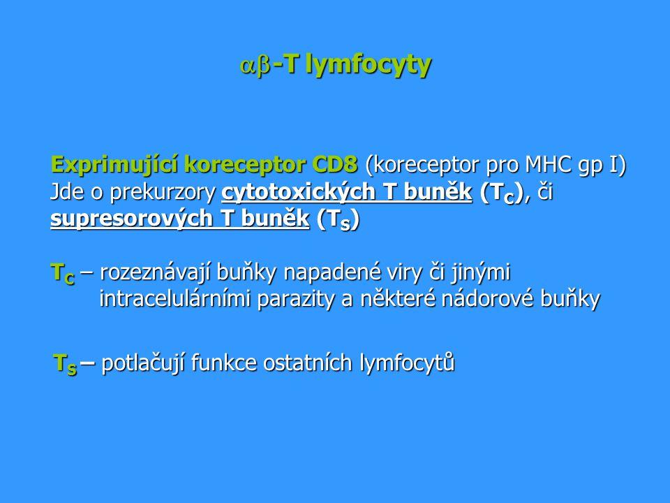  -T lymfocyty Exprimující koreceptor CD8 (koreceptor pro MHC gp I) Jde o prekurzory cytotoxických T buněk (T C ), či supresorových T buněk (T S ) T