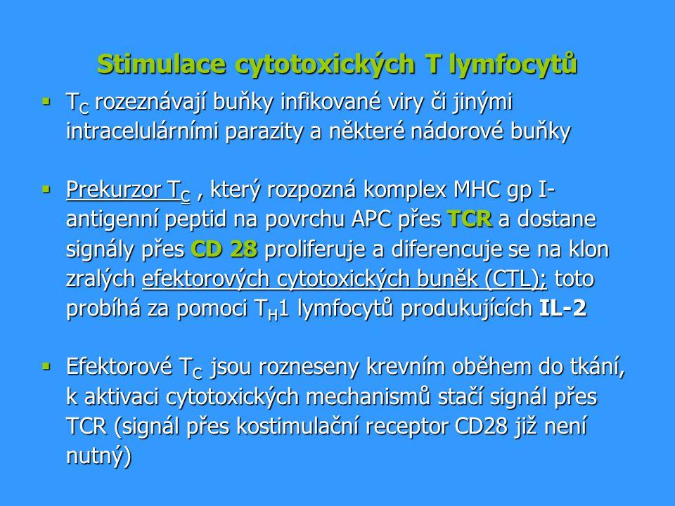 Stimulace cytotoxických T lymfocytů  T C rozeznávají buňky infikované viry či jinými intracelulárními parazity a některé nádorové buňky  Prekurzor T
