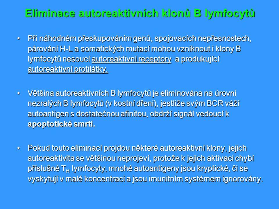 Eliminace autoreaktivních klonů B lymfocytů Při náhodném přeskupováním genů, spojovacích nepřesnostech, párování H-L a somatických mutací mohou vznikn