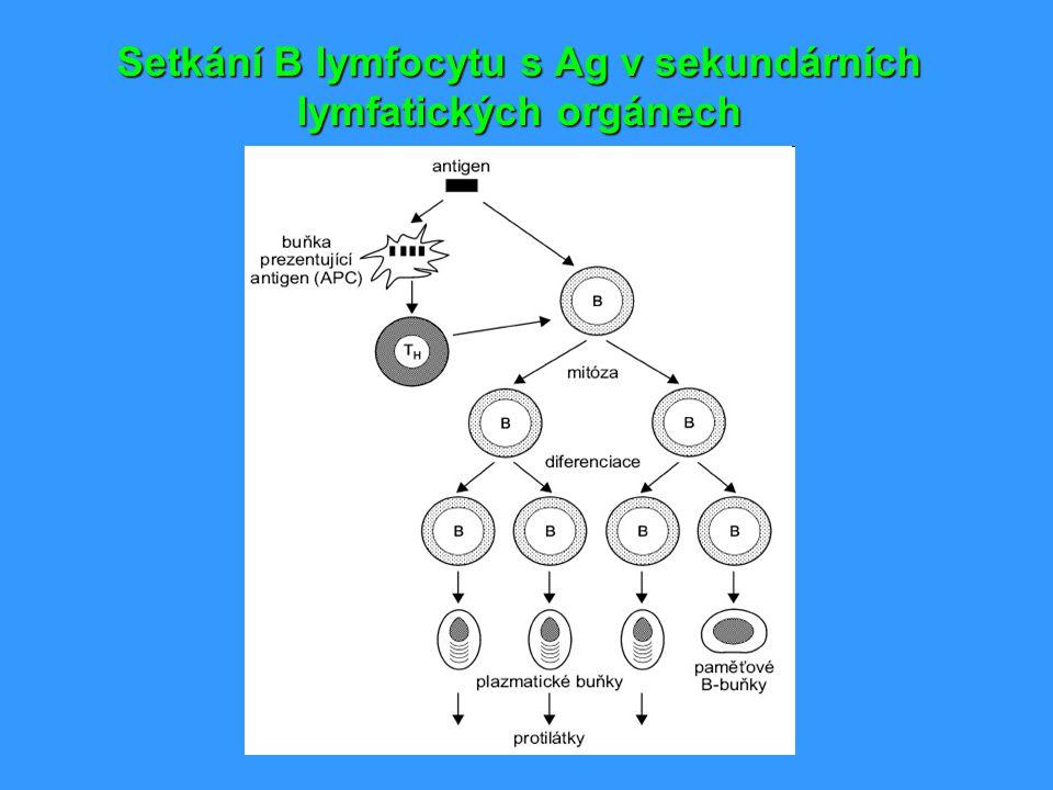 Setkání B lymfocytu s Ag v sekundárních lymfatických orgánech