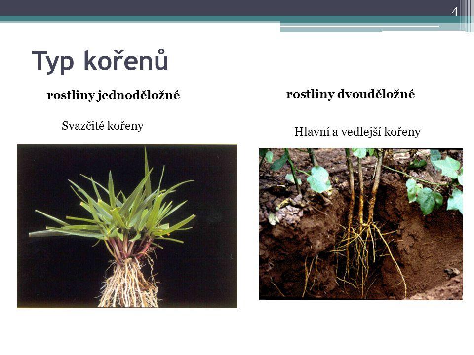 Typ kořenů 4 rostliny jednoděložné Svazčité kořeny rostliny dvouděložné Hlavní a vedlejší kořeny