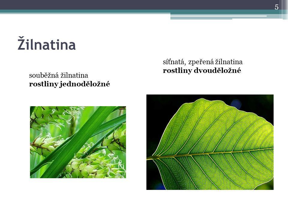 Žilnatina 5 souběžná žilnatina rostliny jednoděložné síťnatá, zpeřená žilnatina rostliny dvouděložné