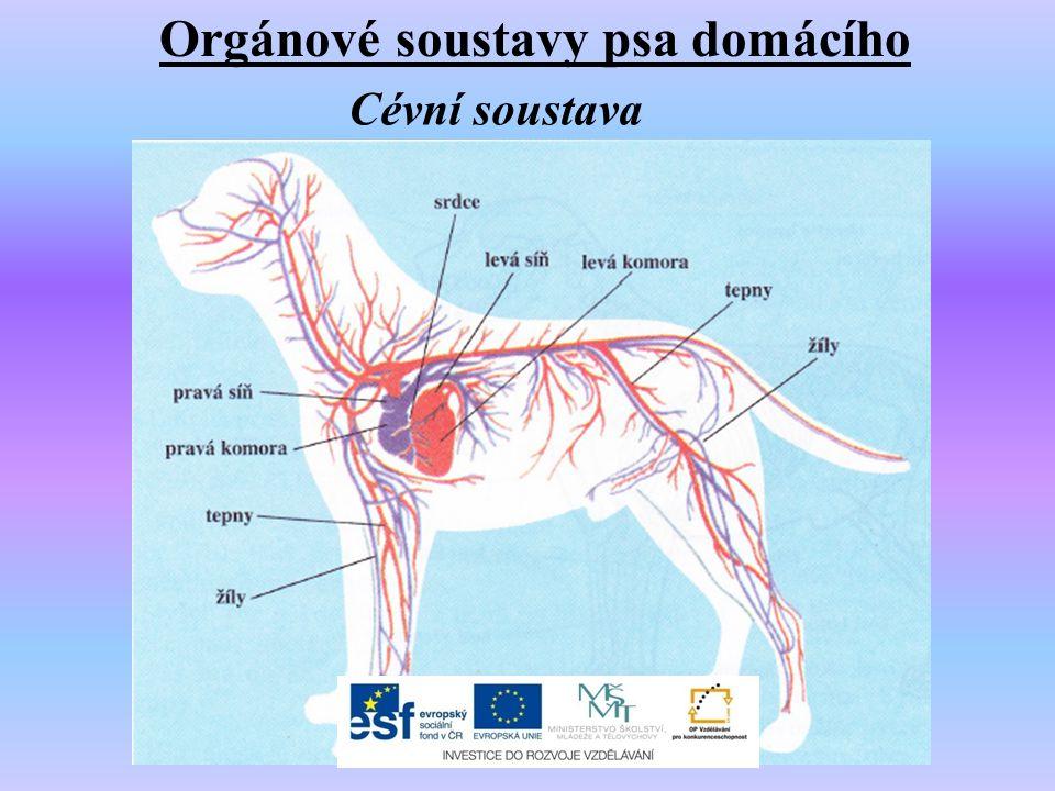 Orgánové soustavy psa domácího Cévní soustava