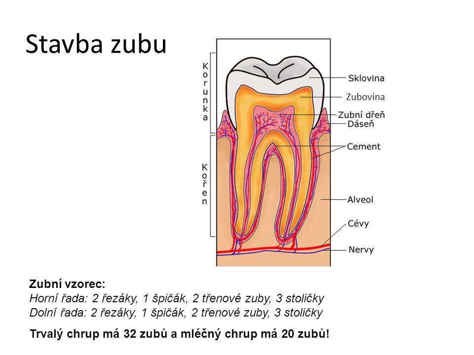 Stavba zubu Zubovina Zubní vzorec: Horní řada: 2 řezáky, 1 špičák, 2 třenové zuby, 3 stoličky Dolní řada: 2 řezáky, 1 špičák, 2 třenové zuby, 3 stolič