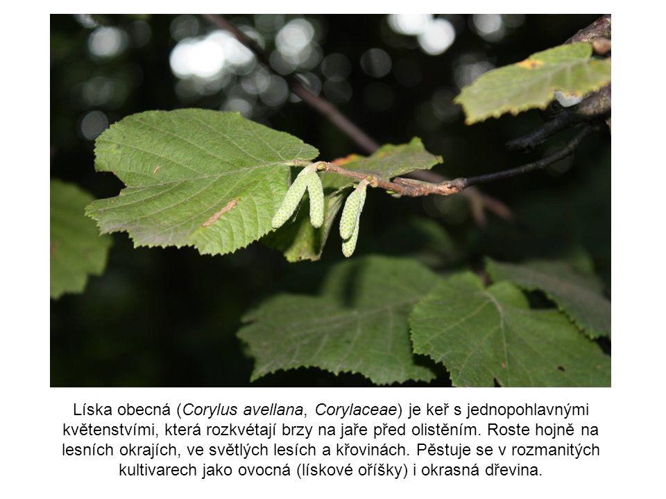 Líska obecná (Corylus avellana, Corylaceae) je keř s jednopohlavnými květenstvími, která rozkvétají brzy na jaře před olistěním. Roste hojně na lesníc