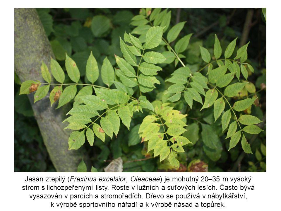 Jasan ztepilý (Fraxinus excelsior, Oleaceae) je mohutný 20–35 m vysoký strom s lichozpeřenými listy. Roste v lužních a suťových lesích. Často bývá vys