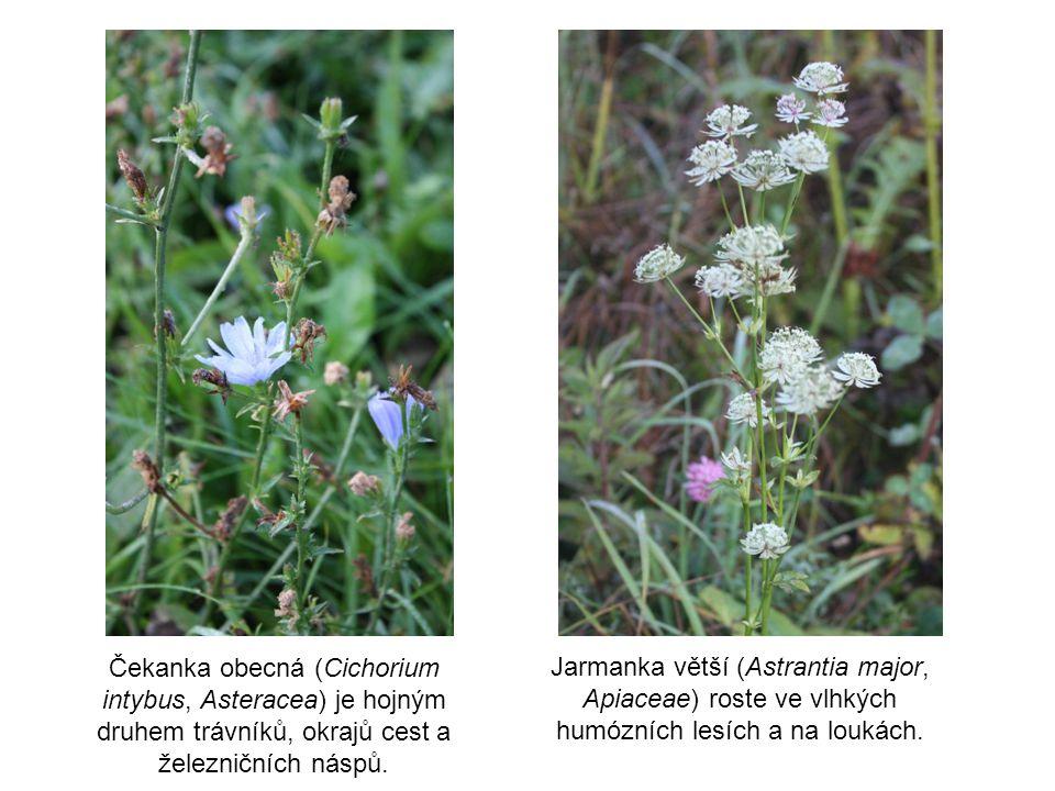 Čekanka obecná (Cichorium intybus, Asteracea) je hojným druhem trávníků, okrajů cest a železničních náspů. Jarmanka větší (Astrantia major, Apiaceae)