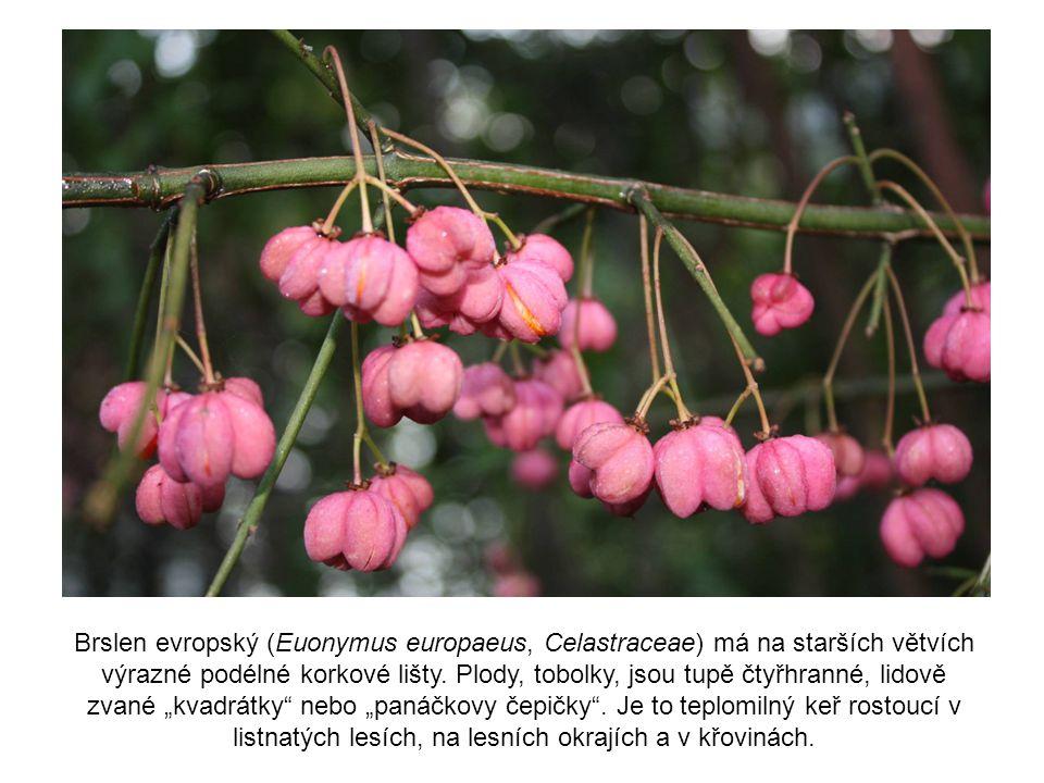 Brslen evropský (Euonymus europaeus, Celastraceae) má na starších větvích výrazné podélné korkové lišty. Plody, tobolky, jsou tupě čtyřhranné, lidově