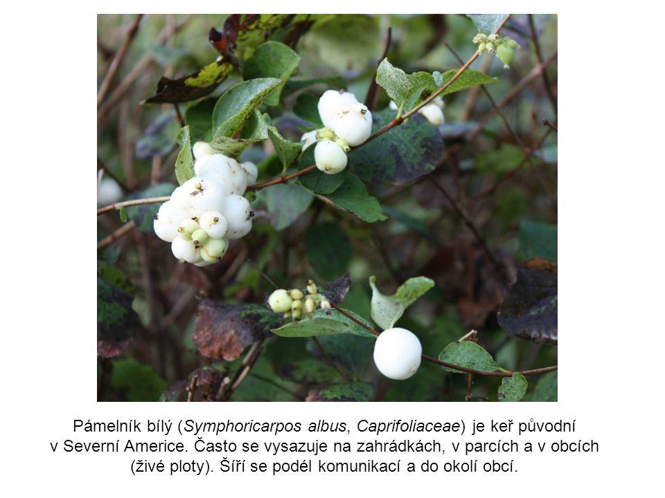 Pámelník bílý (Symphoricarpos albus, Caprifoliaceae) je keř původní v Severní Americe. Často se vysazuje na zahrádkách, v parcích a v obcích (živé plo