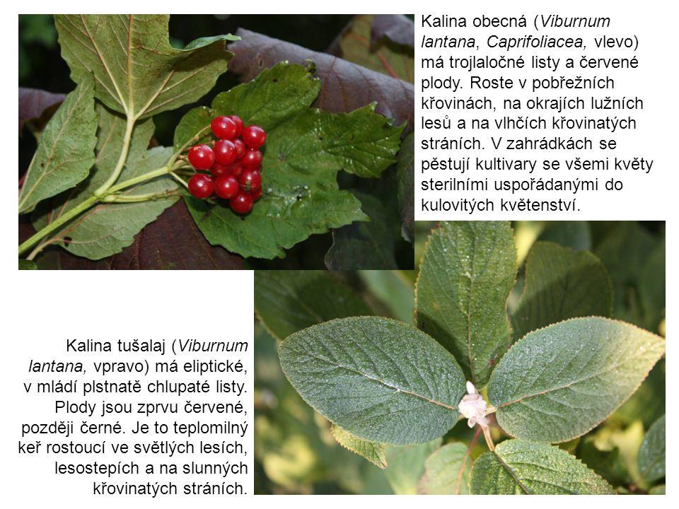 Kalina tušalaj (Viburnum lantana, vpravo) má eliptické, v mládí plstnatě chlupaté listy. Plody jsou zprvu červené, později černé. Je to teplomilný keř