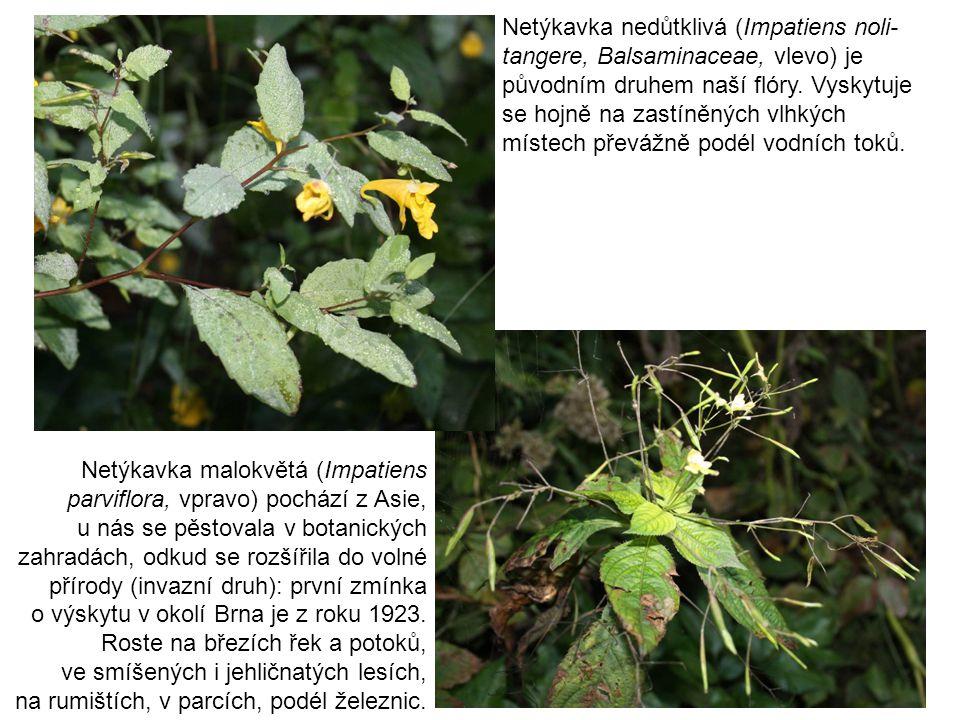 Netýkavka nedůtklivá (Impatiens noli- tangere, Balsaminaceae, vlevo) je původním druhem naší flóry. Vyskytuje se hojně na zastíněných vlhkých místech