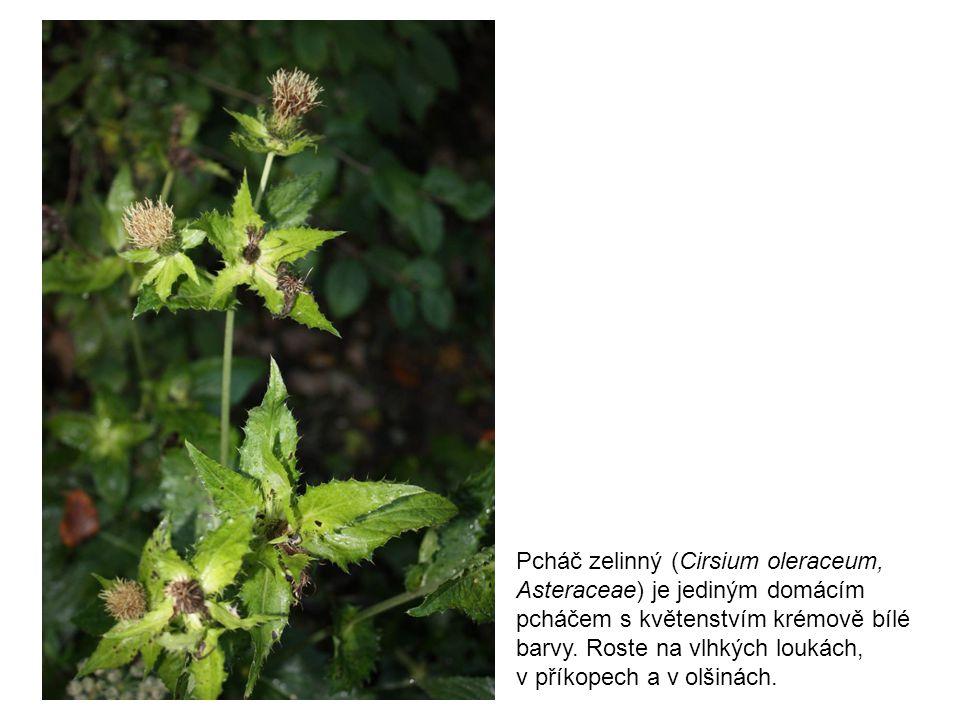 Pcháč zelinný (Cirsium oleraceum, Asteraceae) je jediným domácím pcháčem s květenstvím krémově bílé barvy. Roste na vlhkých loukách, v příkopech a v o
