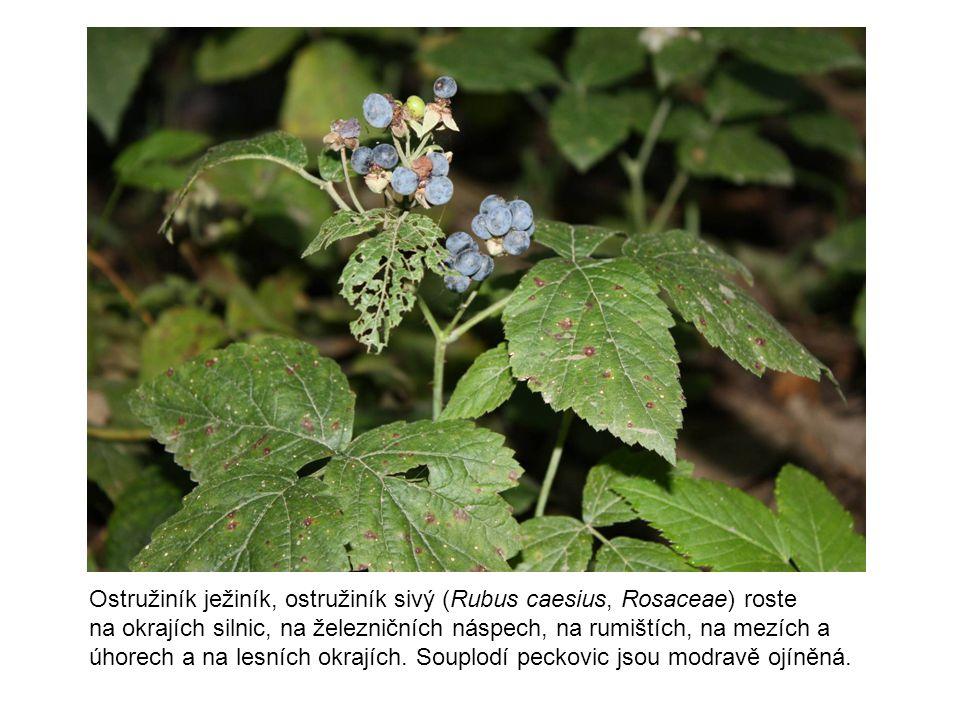 Ostružiník ježiník, ostružiník sivý (Rubus caesius, Rosaceae) roste na okrajích silnic, na železničních náspech, na rumištích, na mezích a úhorech a n