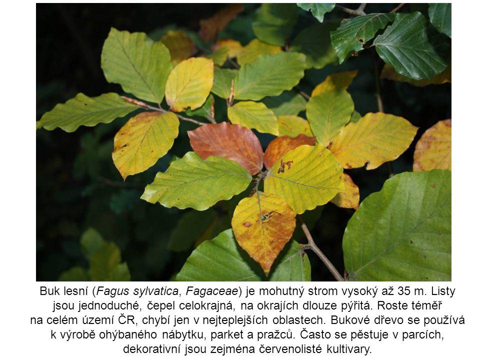 Buk lesní (Fagus sylvatica, Fagaceae) je mohutný strom vysoký až 35 m. Listy jsou jednoduché, čepel celokrajná, na okrajích dlouze pýřitá. Roste téměř
