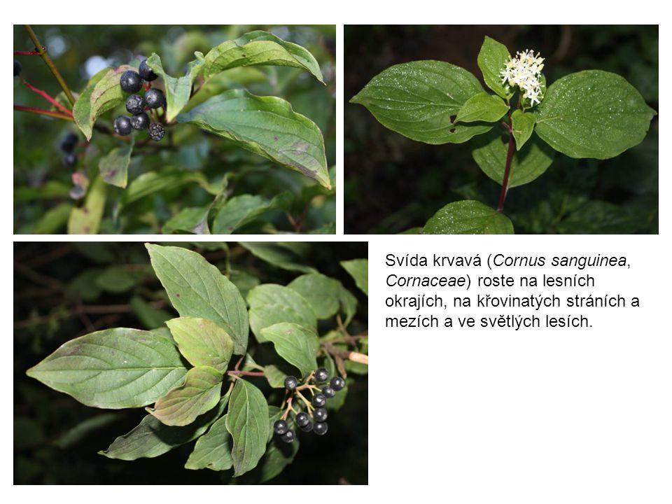 Javor babyka (Acer campestre, Aceraceae) má okraje listů s tupými celokrajnými laloky.