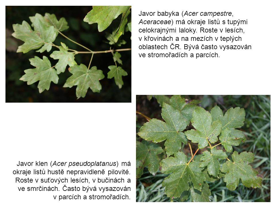 Javor babyka (Acer campestre, Aceraceae) má okraje listů s tupými celokrajnými laloky. Roste v lesích, v křovinách a na mezích v teplých oblastech ČR.